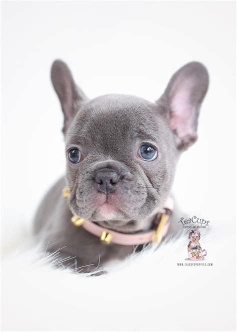 Blue French Bulldog Puppies   Teacup Puppies & Boutique
