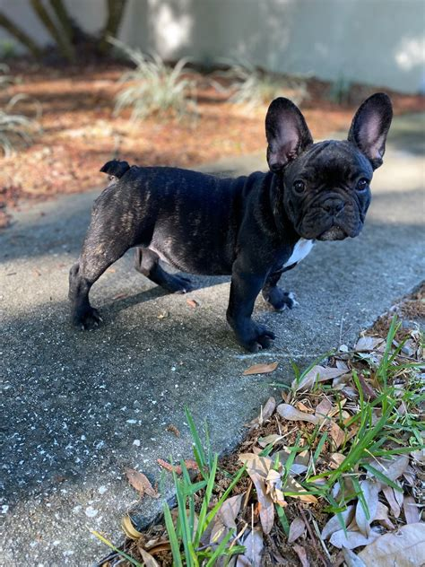 Akc Registerable $$$ Small Male Brindle Frenchie Bulldog