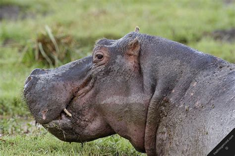 All About Animal Wildlife: Wildlife Hippopotamus Facts and