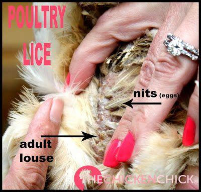 Lice and Mites Identification and Treatment | The Chicken