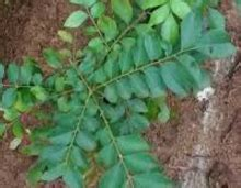 Curry Leaves meaning in English, hindi, telugu, tamil